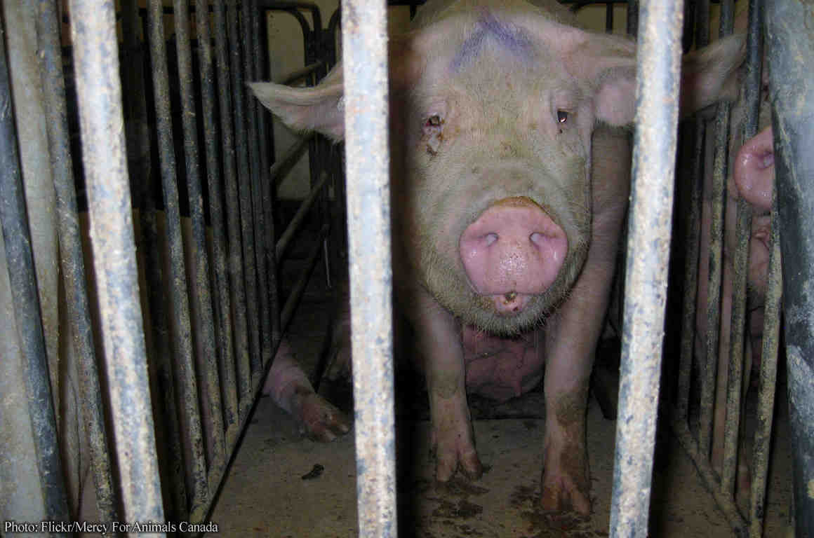 A sad-looking pig in a cage